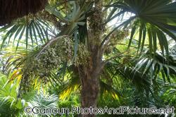 Tropical plants with grape-like fruits at Ocean Coral & Turquesa.jpg