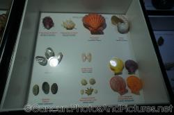 Oyster Lion's Paw Rainbow Shell and other shells at Cancun Interactive Aquarium at La Isla Shopping Village in Cancun.jpg
